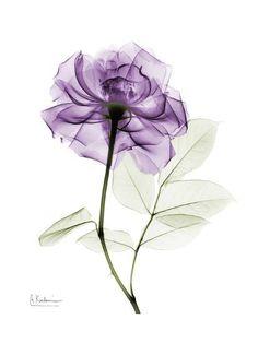 Purple Rose Portrait Albert Koetsier Purple Rose Portrait 2 Art Print by Albert Koetsier at Art. Xray Flower, Flower Art, Lila Tattoo, Purple Rose Tattoos, Rose Sketch, Sketch Art, Finger Tattoos, Aquarell Tattoos, Transparent Flowers