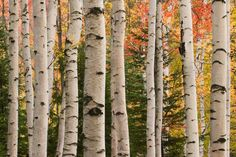 Over Guest Bed upstairs Autumn color amoung birch trees in the White Mountain National Forest in New Hampshire. Birch Forest, Birch Trees, White Mountain National Forest, Granite State, Aspen Trees, New Hampshire, New England, Nature, Photography