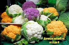 Замораживание цветной капусты http://sadovod.biz/zamorazhivanie-cvetnoj-kapusty/