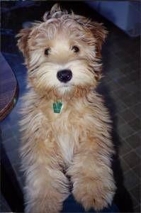 Dog profile for Hunny - In Loving Memory, a female Wheaten Terrier Dog Breeds Chart, Tiny Dog Breeds, Best Dog Breeds, Big Dog Toys, Dog Anatomy, Dog Grooming Shop, Wheaten Terrier, Best Dog Food, Girl And Dog