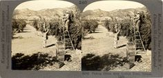 A stereographic view of workers harvesting olives, circa 1910. The verso of the images gives a detailed description about olive harvesting.This image comes from the Keystone-Mast collection housed at the University of California, Riverside. San Fernando Valley History Digital Library.