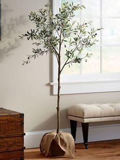 olive tree indoor Indoor Olive Trees Are the Next quot; PlantHeres How to Care for One Indoor Olive Tree, Potted Olive Tree, Olive Plant, Faux Olive Tree, Indoor Trees, Potted Trees, Trees To Plant, Indoor Plants, Indoor Gardening