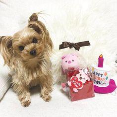 @p_tan914 ママ達にお誕生日プレゼントもらったの🎁💓ありがとー😊😊 ひっぱりオモチャとおやつ嬉しいな❤ #happybirthday # #4th #komugi #girl #dog #dogs #instadog #instapet #todayscode #yorkshireterrier #terrier #petlife #tokyo #life #japan #こむぎ #こむたん#ヨーキー #ヨークシャ #ヨークシャテリア #犬 #ワンコ #愛犬 #誕生日 #プレゼント