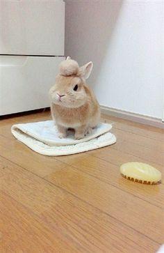 リーゼントウサギ
