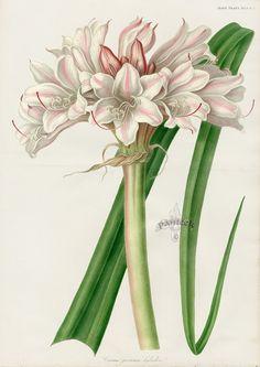 Crinum govenium hybridum, White Lily Print from Vintage Prints of Amaryllis Regina Lily, Peony, Passion flower, Orchid