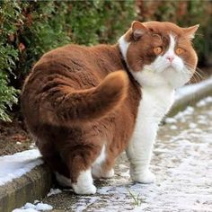 May be a Bit on the Pudgy Side, But This Cat is Absolutely Gorgeous!
