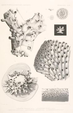The Biodiversity Heritage Library works collaboratively to make biodiversity literature openly available to the world as part of a global biodiversity community. Science Drawing, Scientific Drawing, Antique Illustration, Botanical Illustration, Underwater Tattoo, Illustration Botanique, Ernst Haeckel, Jewellery Sketches, Sea Birds