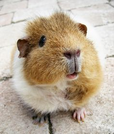 Look at this sweet, bristly fluffy little guinea pig. I can't handle the cuteness!