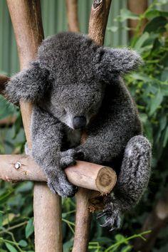 Sleeping Koala Bear, Beautiful