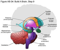Fig Build A Brain, Step 8 - A mentéseim - Gross Anatomy, Brain Anatomy, Medical Anatomy, Anatomy Study, Anatomy And Physiology, Human Anatomy, Brain Stem, Brain Science, Caudate Nucleus