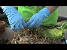How to Repot an Orchid: Phalaenopsis - YouTube
