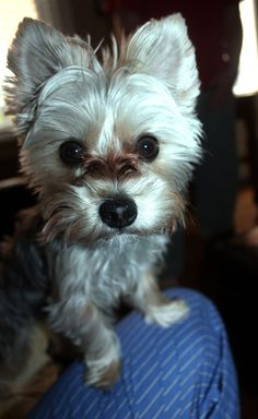 Truman The Maltese Yorkie Morkie   Oh he is so cute!