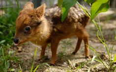 A one-month-old baby Pudu deer grazes at a university in Concepcion, Chile. The Pudu, the world's smallest deer, was found orphaned in a forest close to the city.  Picture: REUTERS/Jose Luis Saavedra