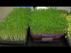 Various types of sprouts grown indoor in various types of containers. Please turn annotations on to see links to how to sprout and grow various microgreens a. Radish Sprouts, Broccoli Sprouts, Growing Greens, Growing Roses, Growing Plants, Growing Sprouts, Growing Vegetables, Sprouting Seeds, Planting Seeds