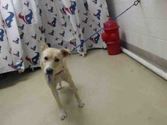 11/16/16-HOUSTON - SUPER URGENT - HIGH KILL FACILITY IS OVER CAPACITY -CANELLA - ID#A472399 My name is CANELLA I am a female, yellow Labrador Retriever. The shelter staff think I am about 8 months old. I have been at the shelter since Nov 15, 2016. This information was refreshed 10 minutes ago and may not represent all of the animals at the Harris County Public Health and Environmental Services.