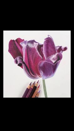 Colored Pencil Drawing of a Tulip Speed Drawing Learn how to draw botanical art using colored pencil Pencil Drawings Of Flowers, Colored Pencil Artwork, Pencil Drawing Tutorials, Coloured Pencils, Pencil Art Drawings, Colorful Drawings, Art Drawings Sketches, Drawing Flowers, Painting Flowers