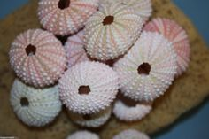 50 pcs) Pink Sea Urchins, Sea Urchins, Pink Sea Urchins, free shipping, sea urchins for craft projects, sea urchin supplies, pink sea urchin by runningtide. Explore more products on http://runningtide.etsy.com