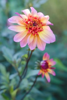 dahlia -- don't know what kind