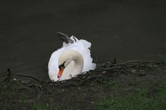 Shake a leg! #swan  #Arundel January  2016 www.pinterest.com/annbri
