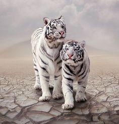 Rare white tigers. !IEC