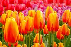 Google Image Result for http://1.bp.blogspot.com/-4dXA55oWkVA/TdO49eCEc7I/AAAAAAAABgk/tKkTMp4yGL4/s1600/tulips7.jpg
