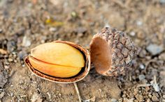 SurvivalGearup: How to Prepare Acorns for Food and Medicinal Uses