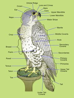 anatomy of a falcon wing - Google Search