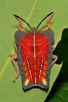 ˚Lychee Stink Bug Nymph (Tessaratoma papillosa, Tessaratomidae)