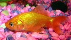 Cute Little Goldfish
