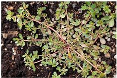 Herbe : Le pourpier est souvent désigné comme une mauvaise herbe, et la plupart…