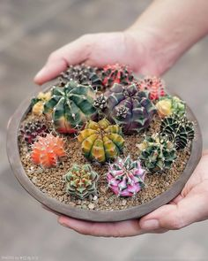"2,990 Me gusta, 33 comentarios - کاکتوسساکولنتcactussucculent (@amin_hajimohamadi) en Instagram: "" : @wachistudio #gymnocalycium #ژیمنوکالیسیوم #کاکتوس_ابلق # #cactus #succulent #succulents…"""