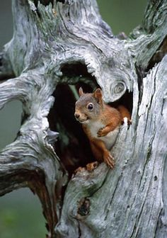 Red Squirrel looking out of a hollowed pine stump