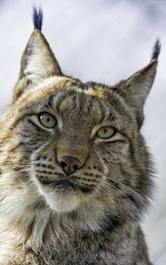 https://flic.kr/p/FD2N1V   Nice portrait  of Mojak!   That's definitely my best lynx portrait of this series. I was in their enclosure and Mojak was sitting on the roof of the shelter and looking at me from above...