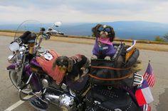Andy et Maddie sont des shih tzus à part. Les deux chiens, âgés de 11 et trois ans, sont les fidèles passagers du bikerRobert Reed, qui sillonne les Etats-Unis sur sa Harley Davidson. Munis de lunettes de soleil et de petits manteaux, ils l'ont accompagné à travers 22 Etats américains, visitant entre autres le Mont Rushmore et le parc national de Yellowstone. Ils ont gagné leur surnom deRebel Dawgs.A voir: Toutous sur deux-rouesRetrouvez Animal Story ...