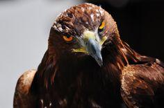 Golden Eagle - null Light Golden Brown, Golden Eagle, Birds Of Prey, Bald Eagle