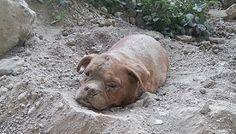 Animaux - Signez la pétition : Peine maximale pour le maître de la Dogue de Bordeaux retrouvée enterrée vivante !
