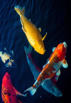 1000 images about koi on pinterest carp butterfly koi for Koi fish dealers
