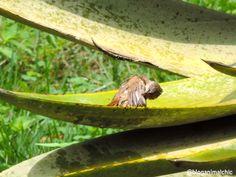 Corruíra (Troglodytes musculus) tomando banho logo cedo em Inhotim, Brumadinho/MG. Foto feita em Abril/14.