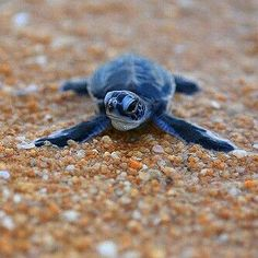 20 of the beautiful baby sea turtle pictures that will you love. Baby Animals Pictures, Cute Baby Animals, Cute Baby Turtles, Turtle Baby, Types Of Turtles, Sea Turtle Pictures, Sulcata Tortoise, Turtle Love, Tier Fotos