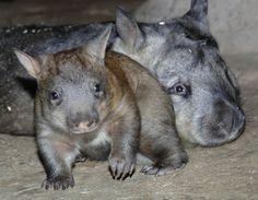 Hairy nosed wombat