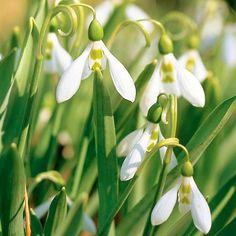 Snowdrop    Snowdrops often greet spring before the snow has gone. These beautiful little bulbs offer butterfly-shape white flowers and are great for growing in the lawn or garden.