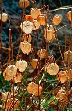 Seedheads of Chinese lantern