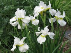 Iris Sibirica White Swirl (Ships in Spring) Siberian Iris from ADR Bulbs Iris Flowers, Cut Flowers, White Flowers, Smart Garden, Garden Care, Flower Beds, Flower Petals, Flower Patch, Garden Compost