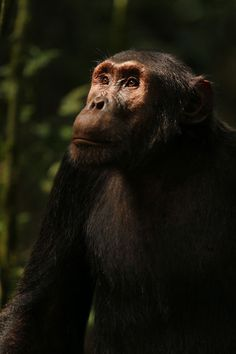 Cash, an adult male chimpanzee from the Ngogo Community