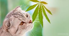 It may sound funny to give your cat CBD but the growing community of veterinarians and pet lovers who believe CBD as a natural and safe alternative to complex Veterinary drugs gives it a thumbs up for all its great benefits. The Internet is full of stories where pet owners are touting the extraordinary benefits of giving their pets CBD, and all of them sound miraculous.