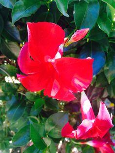 Red Brazilian jasmine