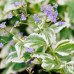 A gorgeous but underused shade-garden plant, brunnera produces sprays of pale blue flowers in spring. Here's a hint: The heart-shaped leaves are rather plain, so look for variegated selections, such as the one shown here, to increase the season of interest. 'Jack Frost' is one of the most popular varieties; its blue flowers are set off by silver-splashed foliage. Plant Name: Brunnera macrophylla Growing Conditions: Shade and moist, well-drained soil