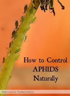 Aphids will take over your garden if you let 'em. Garden ~ prepping ~ homestead ~ grow your own ~ seeds ~ vegetables ~ non-toxic ~ pest control Garden Bugs, Garden Pests, Garden Insects, Edible Garden, Organic Gardening, Gardening Tips, Weed Control, Bug Control, Garden Projects