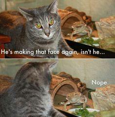 bearded dragon. cat. funny.