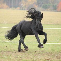 21394278-Gorgeous-friesian-stallion-running-on-paturage-in-autumn-Stock-Photo.jpg (1300×1300)